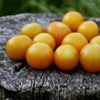 sungold tomato seeds