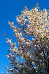 Blossom2013-Apr-23-0408