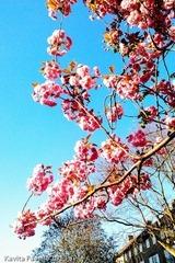 Blossom2013May2-0440