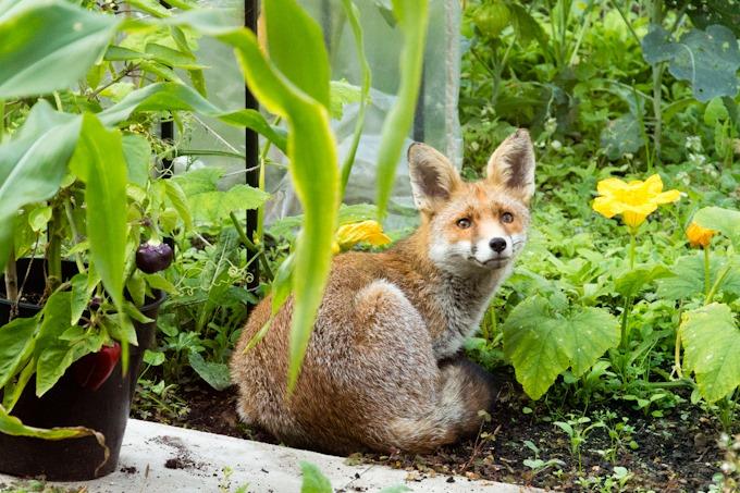 GardenFox-5165