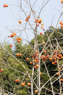 Persimmon Fruits in Japan 2013 Kavey Eats © Kavita Favelle-5805