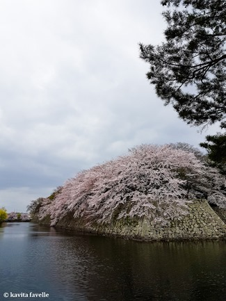 Sakura Season in Hikone Japan on Kavey Eats-124445