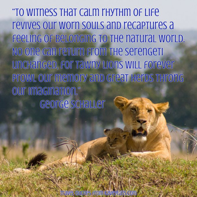 """""""To witness that calm rhythm of life revives our worn souls and recaptures a feeling of belonging to the natural world. No one can return from the Serengeti unchanged, for tawny lions will forever prowl our memory and great herds throng our imagination."""" George Schaller"""