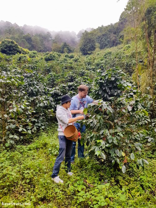 Picking coffee berries at a local farm, part of a two day visit to the Akha Hill Tribe of Thailand's Doi Pha Mee, on Kavey Eats
