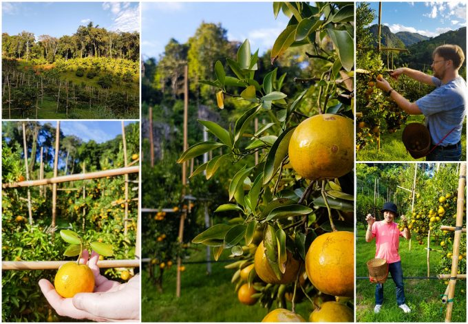 Picking oranges at a local farm, part of a two day visit to the Akha Hill Tribe of Thailand's Doi Pha Mee, on Kavey Eats