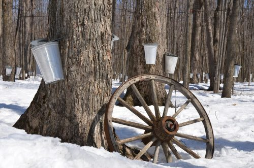 Collection of Sap from Sugar Maple Trees - Canadian Maple Syrup