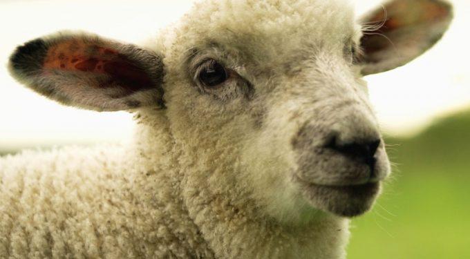 Pasture Fed Lamb