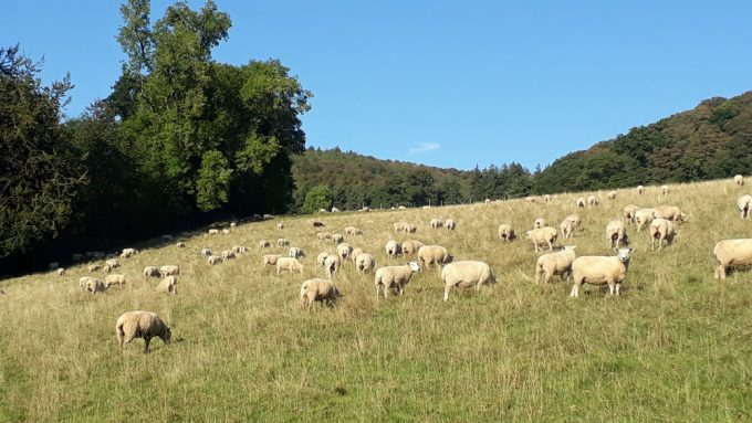 Pasture Fed Sheep