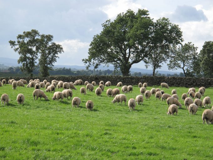 Pasture Fed Sheep