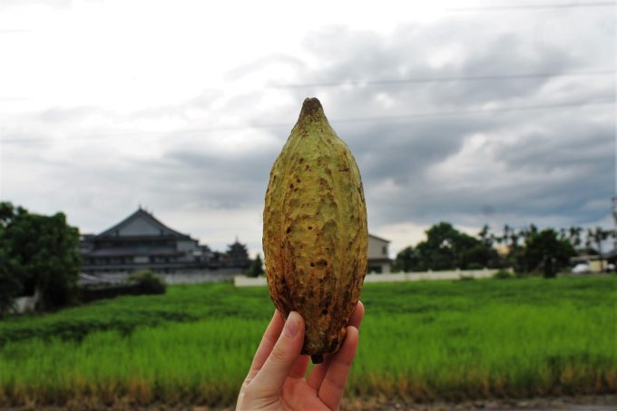 Taiwanese Cacao Over Rice Fields