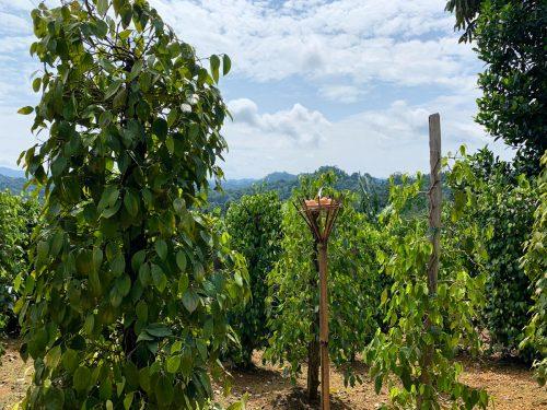 A peppercorn plantation