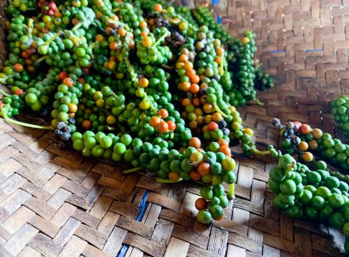 Just-harvested peppercorns
